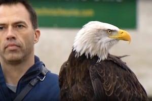Holenderskie orły polują na drony